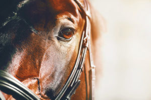 Sunlit Racehorse Close Up