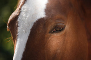 Chestnut Horse's Face