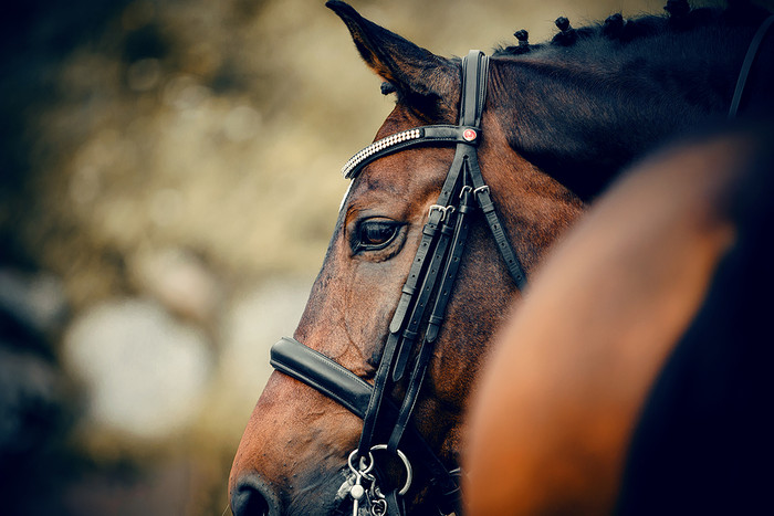 Profile of Bay Racehorse with Bridle
