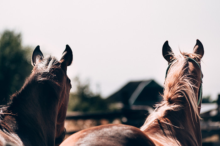 Two Horses Looking Into the Distance