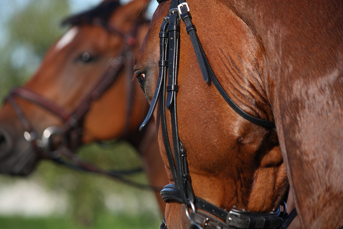 Two Chestnut Racehorses